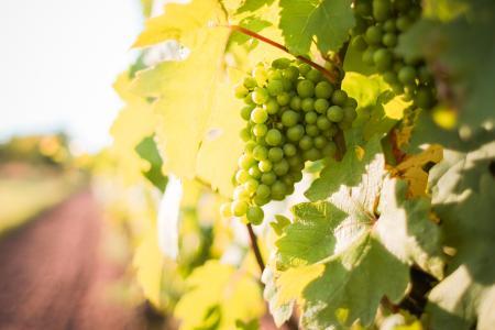 白葡萄葡萄在葡萄园里