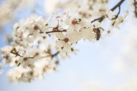 蜜蜂授粉苹果树