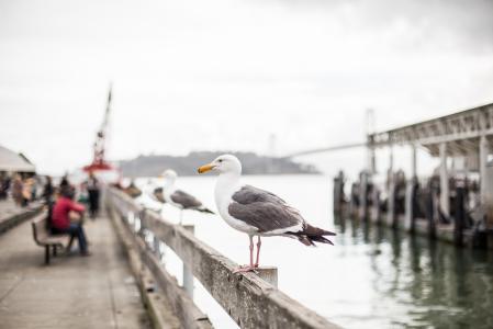 在旧金山码头的海鸥
