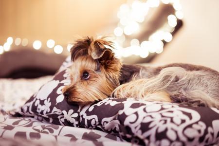 躺在床上的可爱约克夏犬