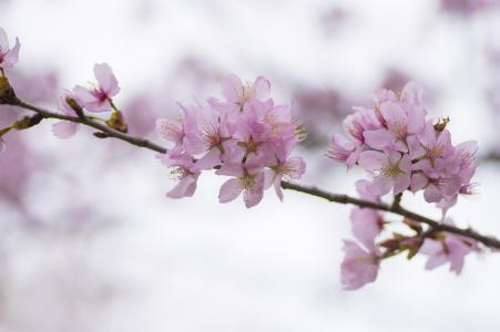 樱桃花瓣免费图片