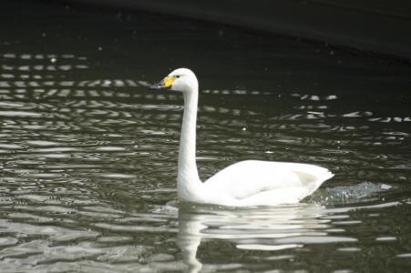 游泳天鹅免费图片