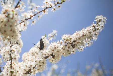 在苹果树上的蝴蝶