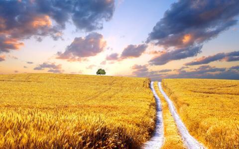 金黄的稻田美景图