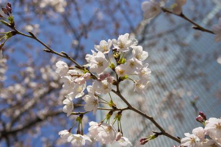 Sakura免费图片