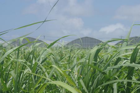 甘蔗领域免费库存照片