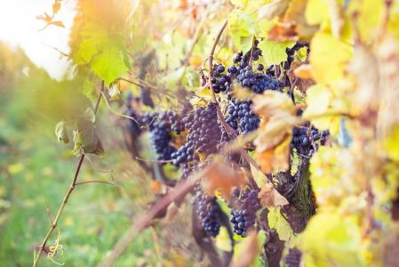 成熟的葡萄在葡萄园里