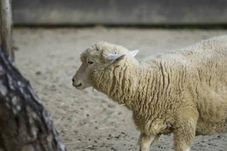 绵羊(绵羊)免费图片