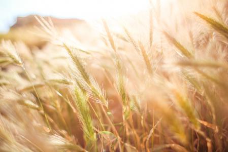 在太阳关闭的麦田