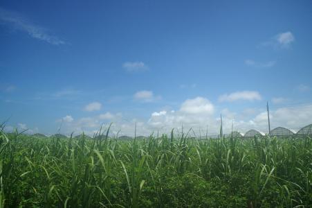 甘蔗田和天空免费照片素材