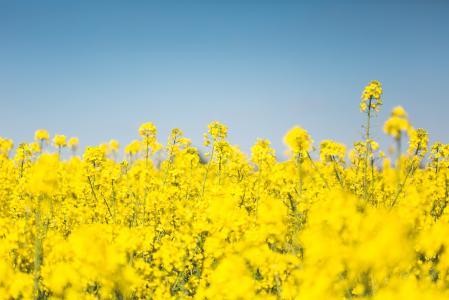 开花的油菜油菜籽领域