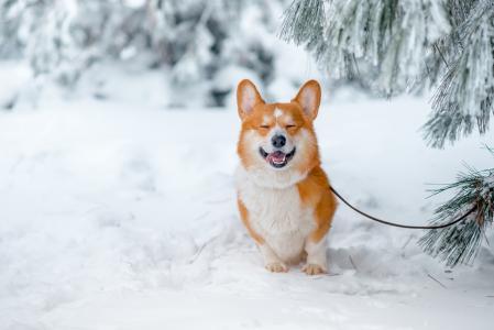 雪中实拍柯基犬美图