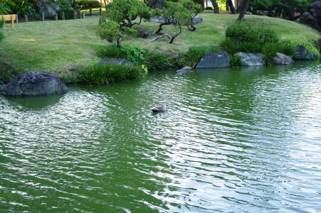游泳鸭免费图片
