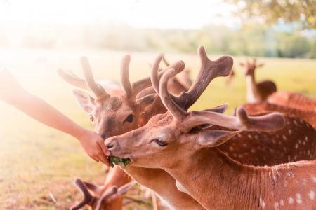 喂养美丽的小鹿