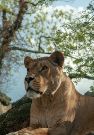 狮子威猛霸气摄影