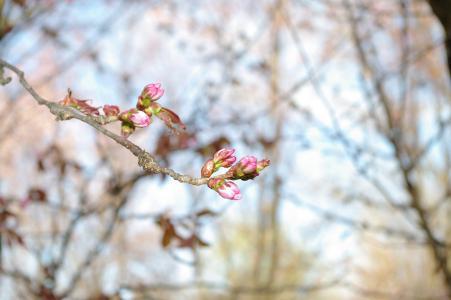 樱桃芽免费库存照片