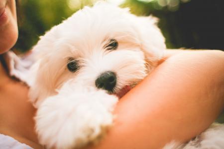 拥抱马耳他狗小狗