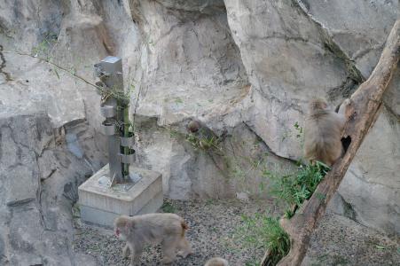 日本猴子免费图片