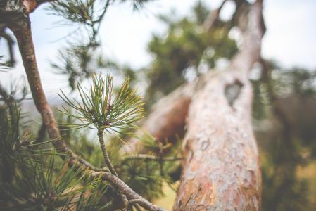 针叶树树关闭