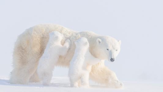 温馨的北极熊一家