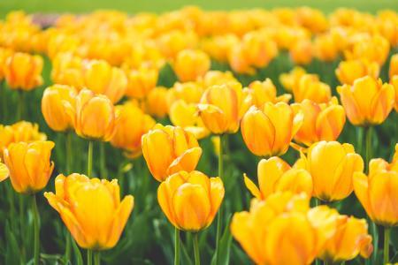 开花的黄色郁金香草甸