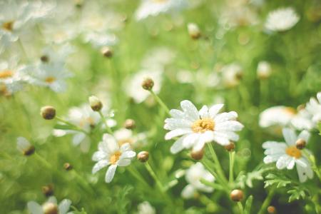 夏天雏菊领域