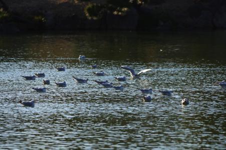 清澄花园免费海鸥照片素材