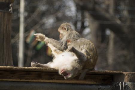 猴子的免费照片材料,以帮助同胞舒展