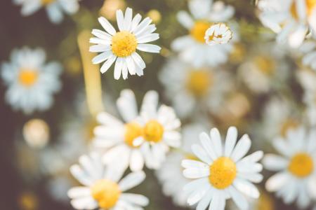 Daisy Flowers #2