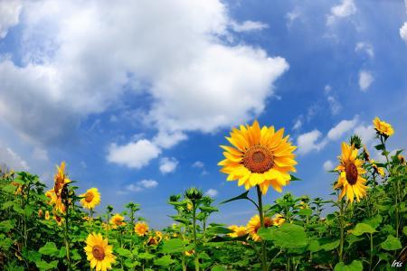 向阳而生的向日葵