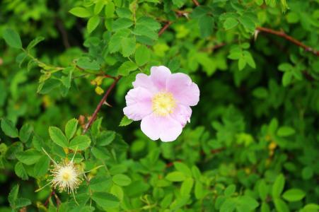 玫瑰免费图片