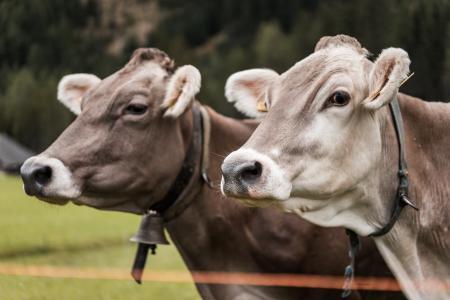 两头母牛画象关闭