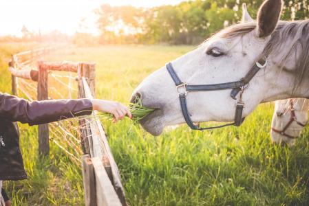 用草喂养华丽的白马的女孩
