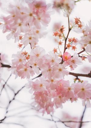 樱花唯美浪漫微距摄影