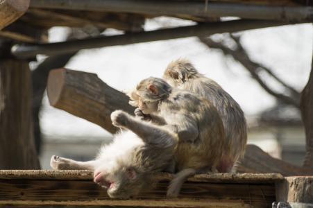 猴子的免费照片材料,检查同胞的气味