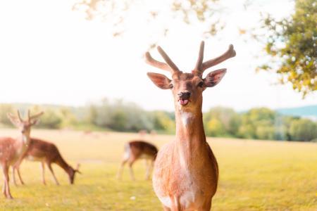 小鹿伸出舌头的滑稽肖像