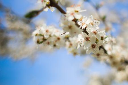 开花的苹果树