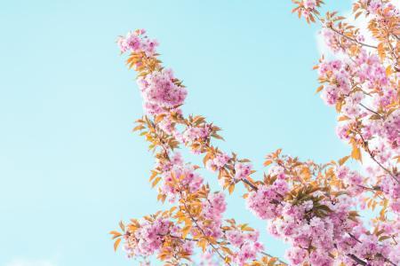 春天樱花树开花