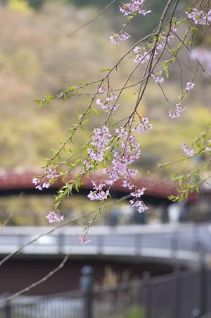 樱花和桥免费股票照片