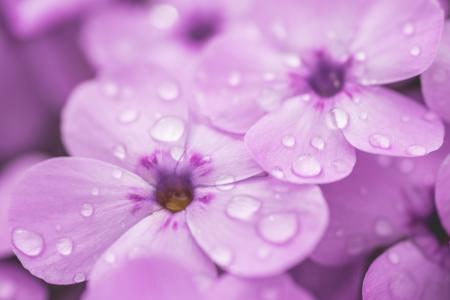 紫罗兰花的雨珠关闭