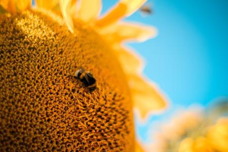 在向日葵上的大黄蜂
