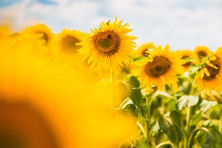 另一个多彩的向日葵领域