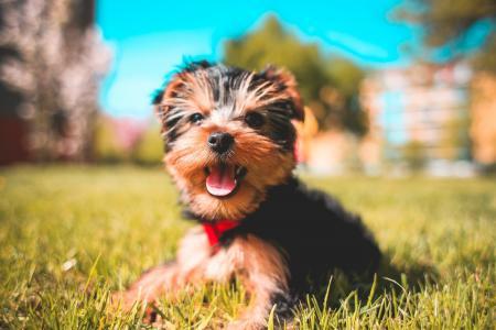 可爱的微笑约克夏犬小狗