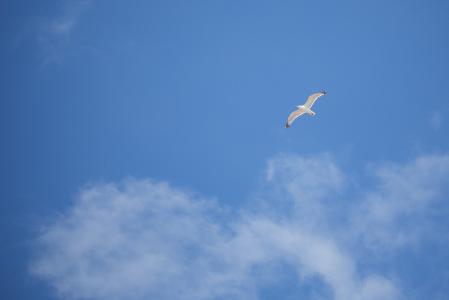 飞翔的海鸥 - 自由的鸟