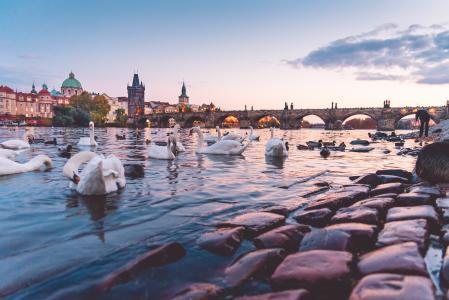 美丽的日落全景与天鹅和查理大桥在布拉格