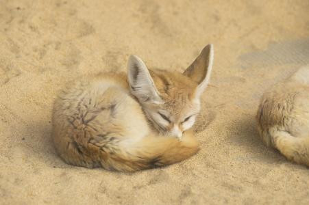 睡着的孩子性(Fennec)免费图片