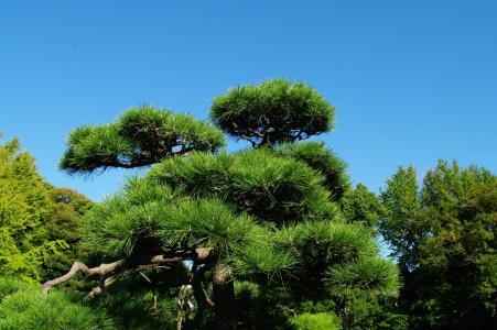 清澄花园 - 松树免费照片