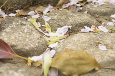 Sakura petals falling商业照片