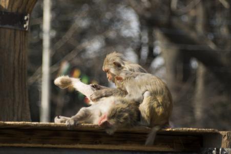 猴子拔出老乡的小腿免费照片