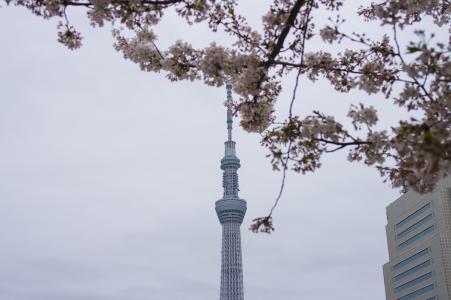 天空树和樱花免费照片